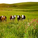 Browns Cows, Masterton, New Zealand by Lisa Wilson