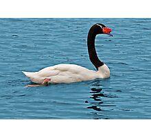 Black-Necked Swan Photographic Print