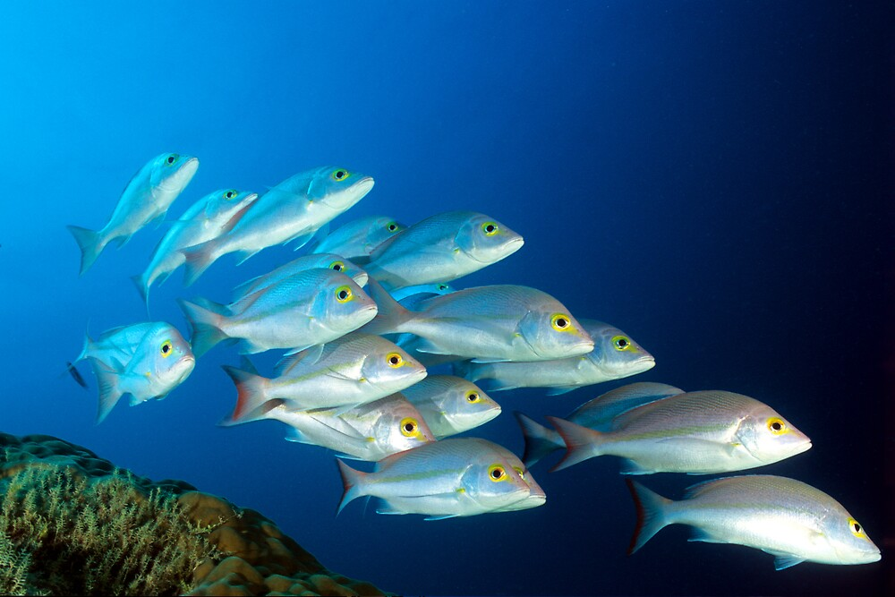 Snappers by David Wachenfeld