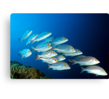 Snappers Canvas Print