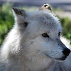 White Wolf by AnneS