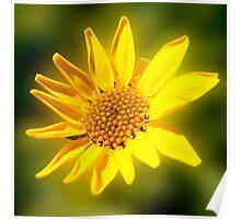 Yellow Daisy (1736) Poster