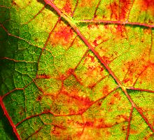 Vineyard Leaf by Brian C. Racine
