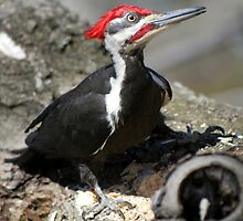 Pileated Woodpecker by DJ Fortune