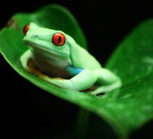Red-eyed tree frog (Agalychnis callidryas) by REPTILICIOUS