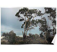 Gum Tree Dreaming, Tasmania , Australia Poster