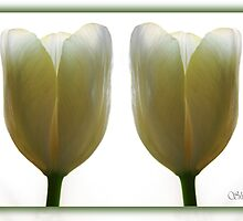 Tulips Two by shall