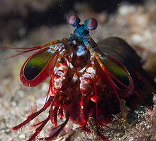 Peacock Mantis Shrimp by Mark Rosenstein