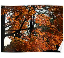 Maple In Fall Poster