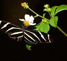 Zebra Butterfly by mlgoren