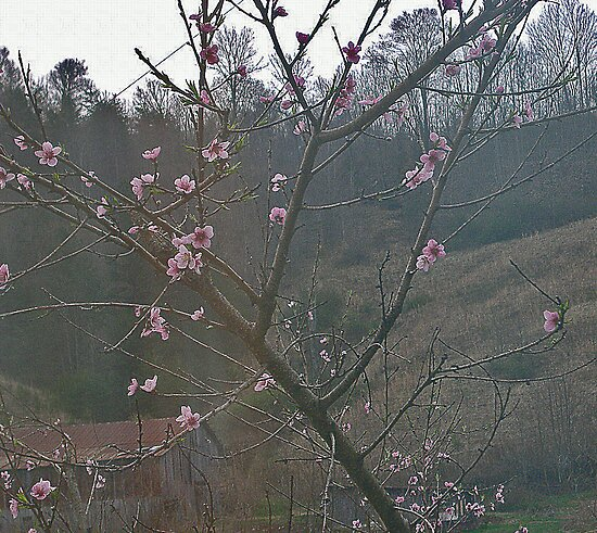 peach blossoms by rebecca smith