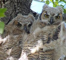 Great Horned Owlets by postmasterjim0
