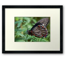 Zebra Longwing butterfly. Framed Print