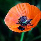 Poppy 6 by Rebecca Cozart