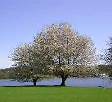Trees in blossom English lake district (Windermere) by sword
