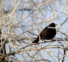 Blackbird by Ruben De Wasch