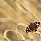 Red Admiral by tilo