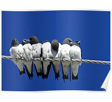 Seven Swallows Sitting Poster