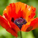 Poppy 1 by Rebecca Cozart