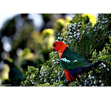 Parrot.. Our regular visitor. Photographic Print