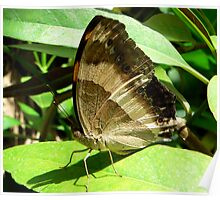 Brown Soldier Butterfly Poster