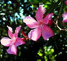 Photo of Oleander Blossoms by pattysole