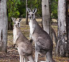 Kangaroos by Helen Green
