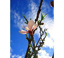Peach Flower Photographic Print