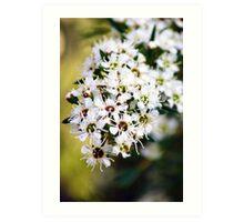 Tea tree flowers Art Print