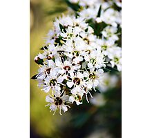 Tea tree flowers Photographic Print