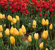 Tip-Toe Through The Tullips! by bellafocus
