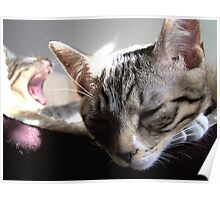 Sleepy kittens Poster