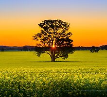 Canola Sunset by Nicole Bechaz
