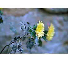 Chrysanthemum losing hope Photographic Print