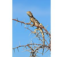 Spiny Agama - Lizard Blues of Fun Photographic Print