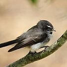 grey fantail  - at Brickenden (Tasmania) by gaylene