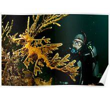 Leafy Seadragon and diver Poster
