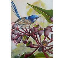 Blue Wren on Gum Nuts  (Sold) Photographic Print