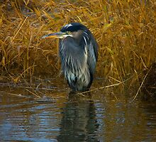 Great Blue Heron by Ryan Watts