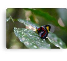 Butterfly, Malanda Canvas Print