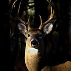 Whitetail Buck by Rock Mollica