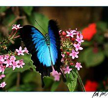 Ulysses Butterfly  by Rock Mollica