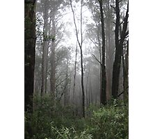 misty gum trees Photographic Print