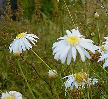 Daisies at Blackwarry 3 by Owen Cheek