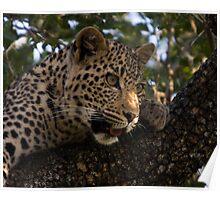 Leopard Cub in Tree Poster
