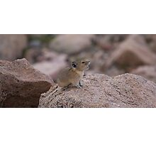 Pika Squeeking Photographic Print