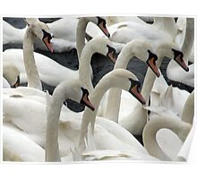 Synchronised swanning Poster