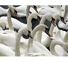 Synchronised swanning Photographic Print