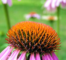 Cone Flowers by Brion Marcum