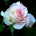 Splendid Rose by sholder